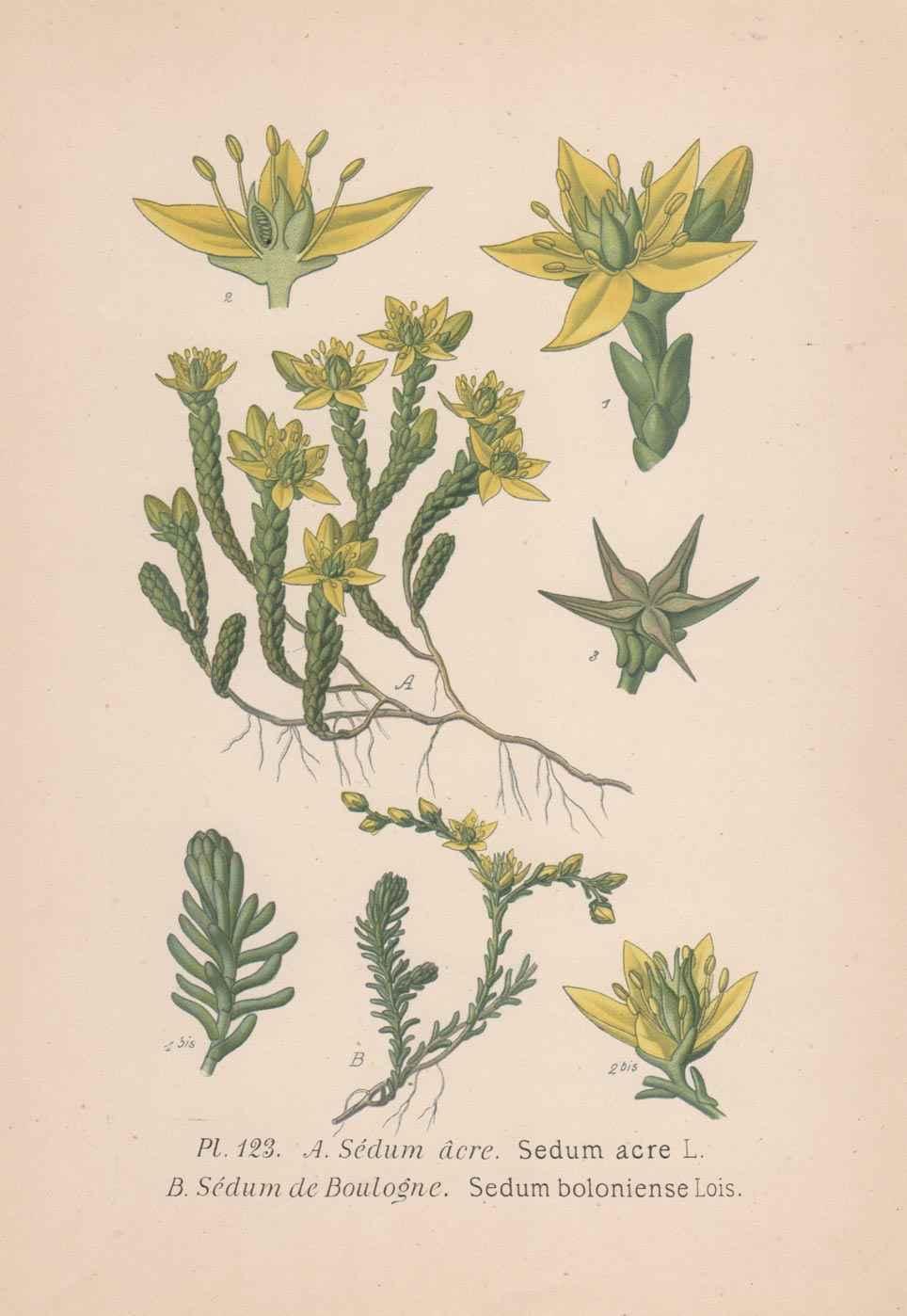 botanica cromolitografia 1893 - NO WATERMARK